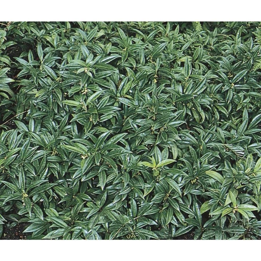 Shop 174 Gallon White Fragrant Sarcococca Flowering Shrub L10768