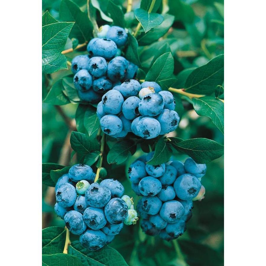 1.74-Gallon Highbush Blueberry Small Fruit (L11096)