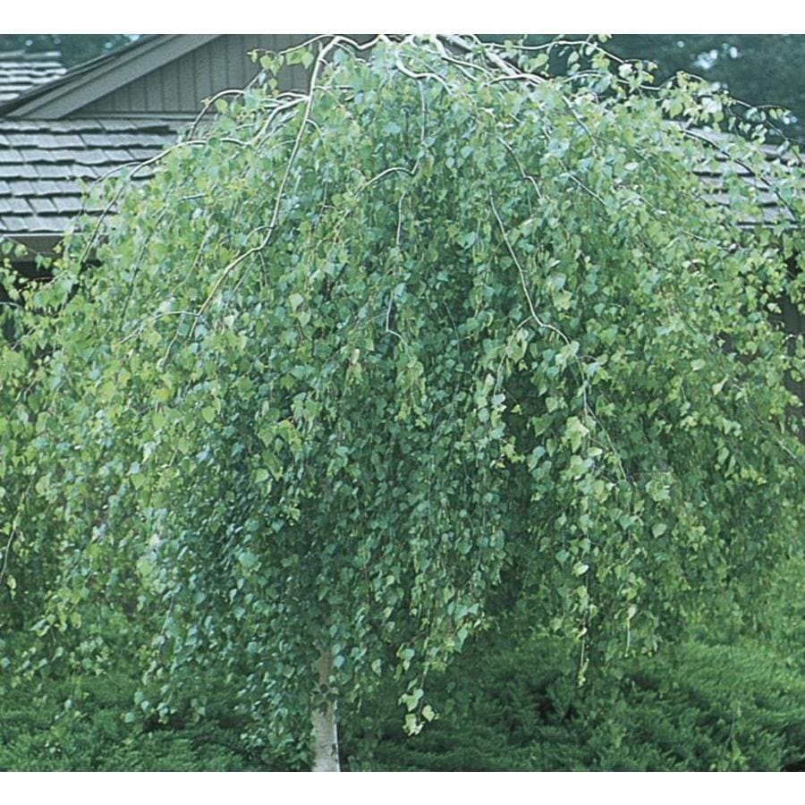 12.33-Gallon Weeping European White Birch Feature Tree (L14552)