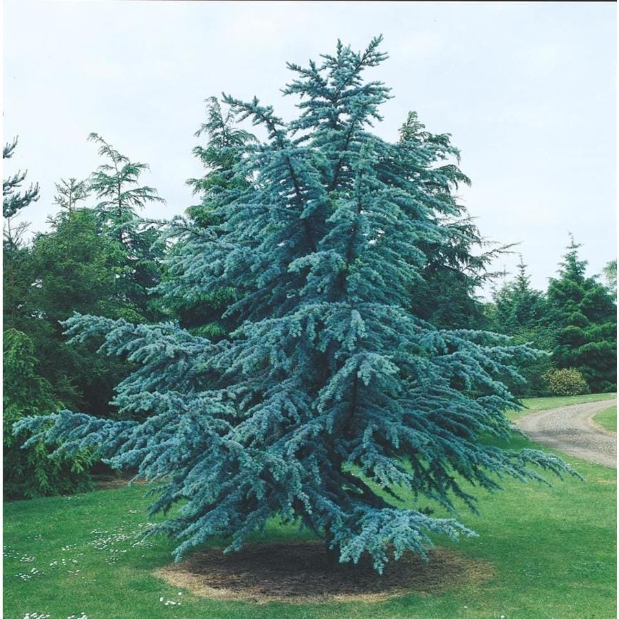 12.33-Gallon Blue Atlas Cedar Feature Tree (L4673)