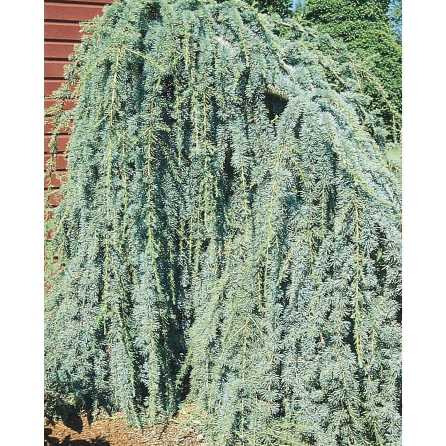 12.33-Gallon Weeping Blue Atlas Cedar Feature Tree (L8098)