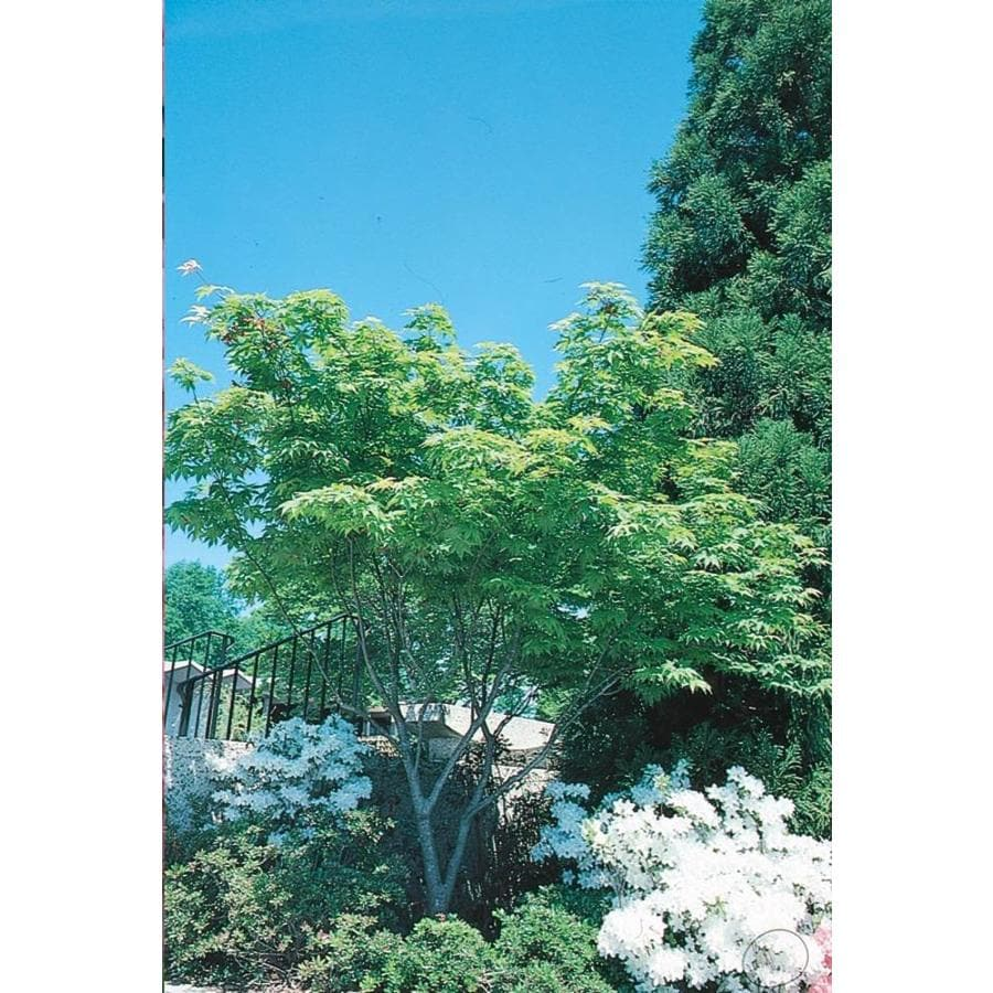 12.33-Gallon Japanese Maple Feature Tree (L4163)