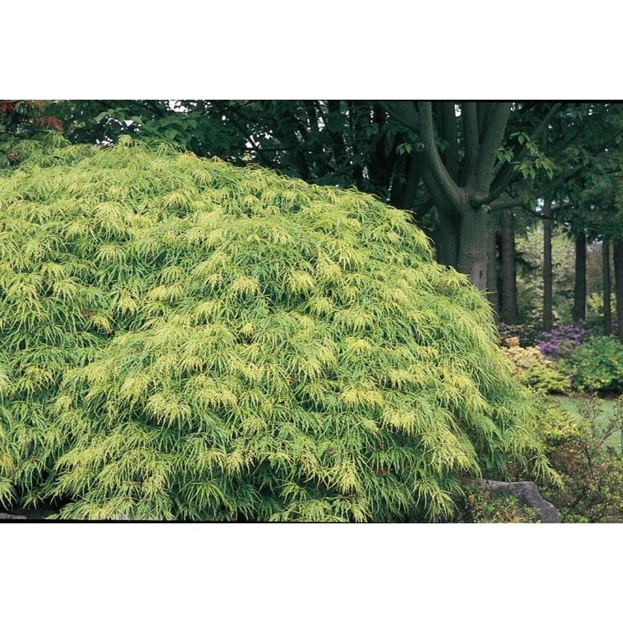12.33-Gallon Laceleaf Japanese Maple Feature Tree (L11472)