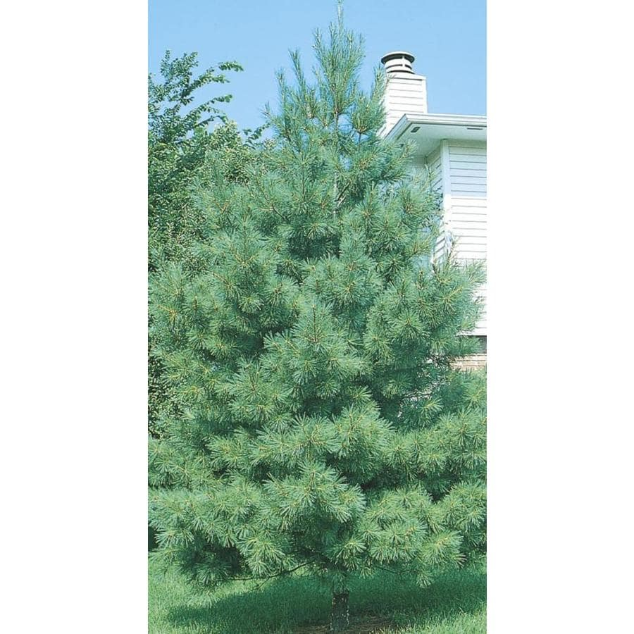 12.33-Gallon Eastern White Pine Screening Tree (L3619)