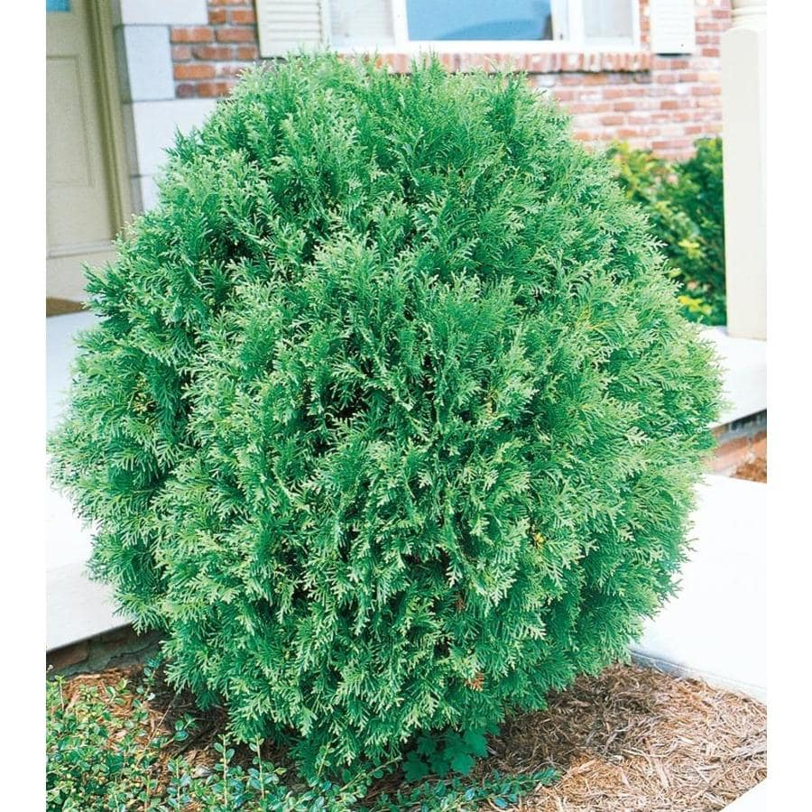 2.58-Gallon Globe Arborvitae Feature Shrub (L4610)