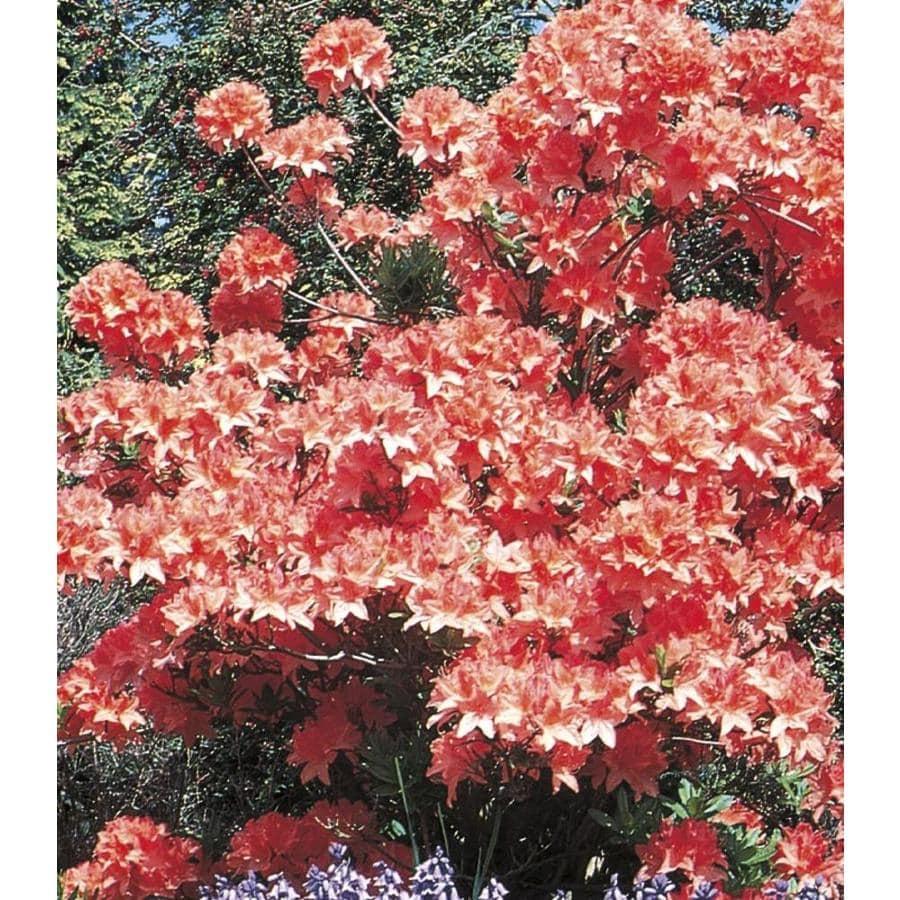 2.58-Gallon Mixed Exbury Hybrid Azalea Flowering Shrub (L5160)