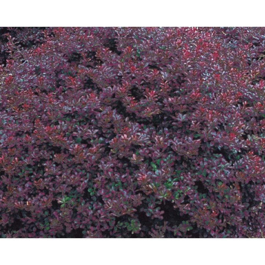 2.58-Gallon Crimson Pygmy Barberry Accent Shrub (L10821)