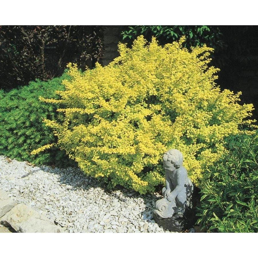 2.58-Gallon Golden Barberry Accent Shrub (L4184)
