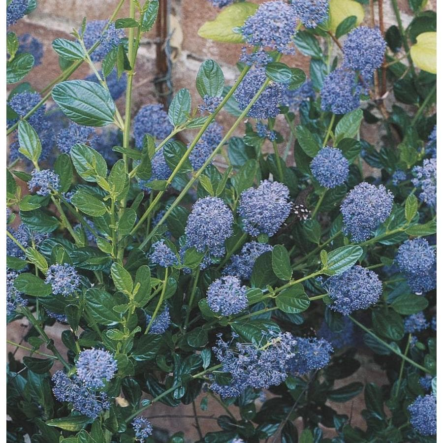 2.58-Gallon Mixed Ceanothus Feature Shrub (L14540)