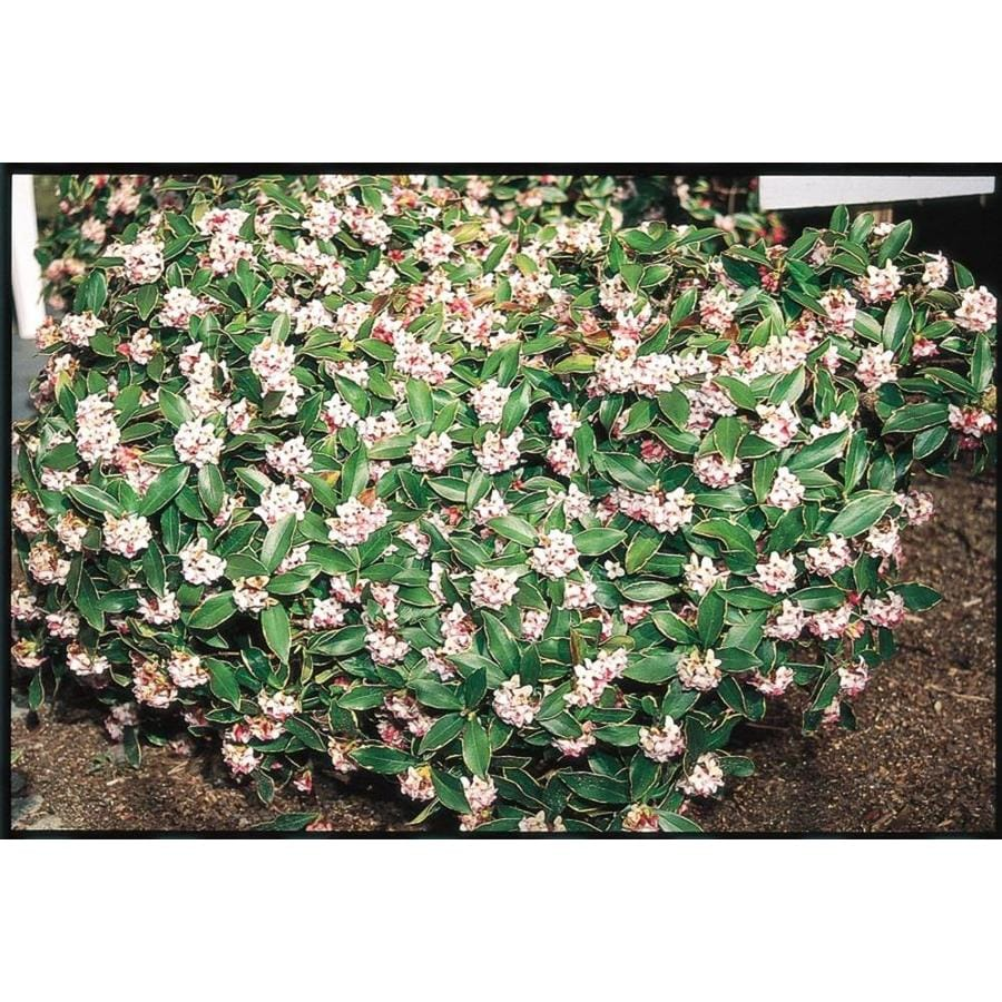 2.58-Gallon Purple Winter Daphne Flowering Shrub (L8130)