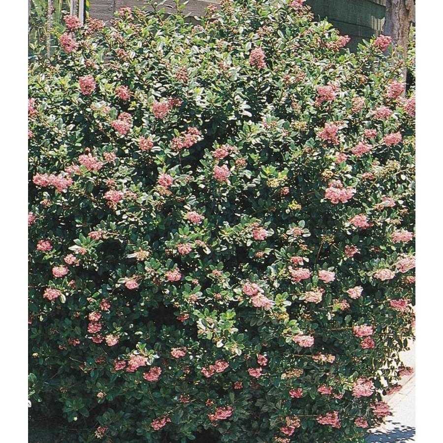 2.58-Gallon Mixed Escallonia Flowering Shrub (L2913)