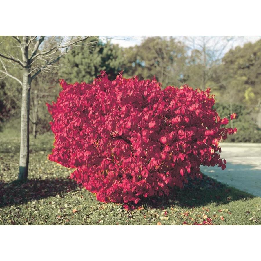 2.58-Gallon Burning Bush Foundation/Hedge Shrub (L1008)