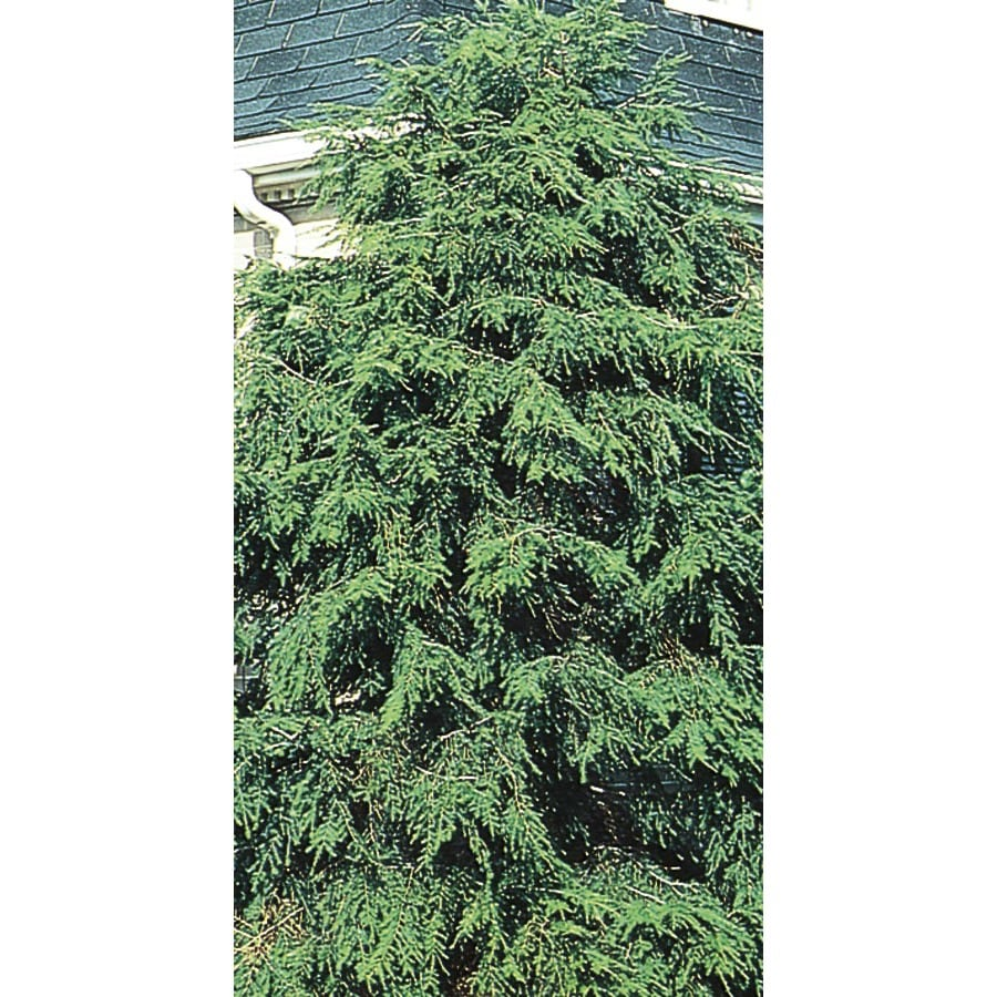 2.58-Gallon Canadian Hemlock Feature Tree (L1242)