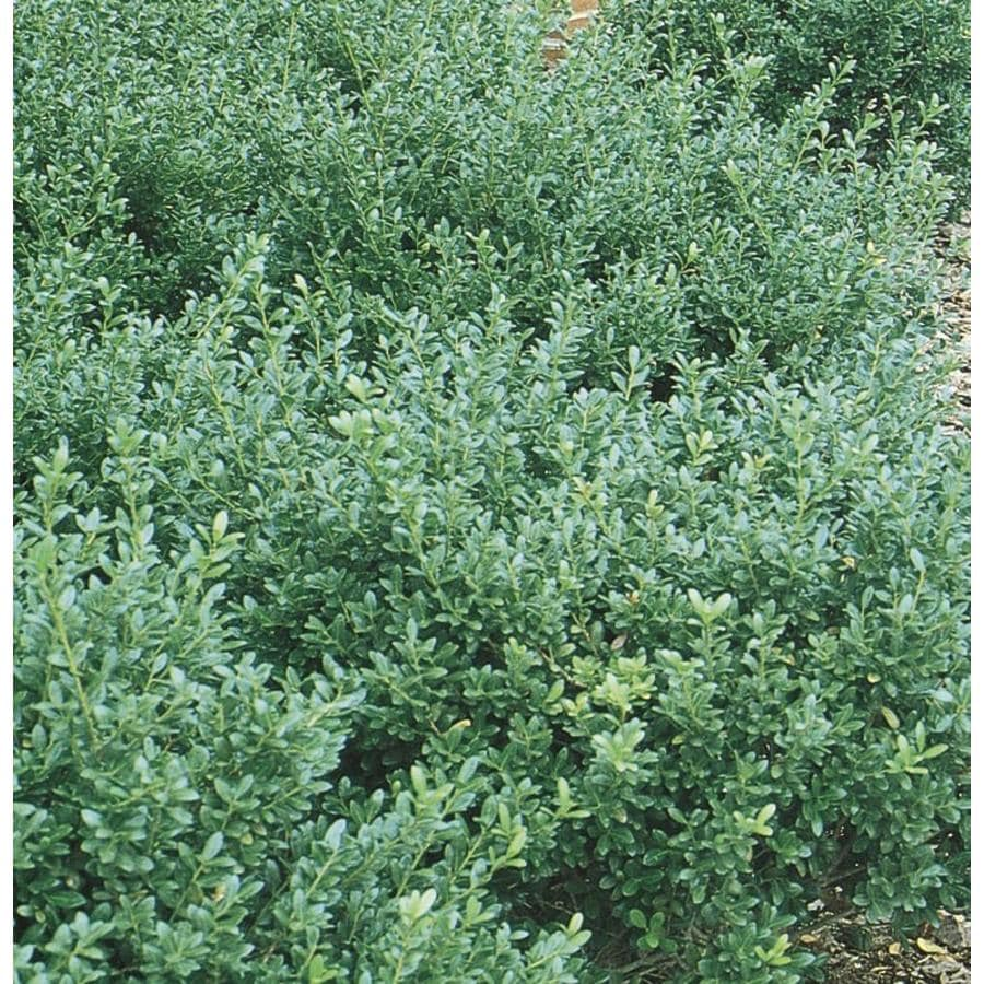 2.58-Gallon Compact Japanese Holly Foundation/Hedge Shrub (L5284)