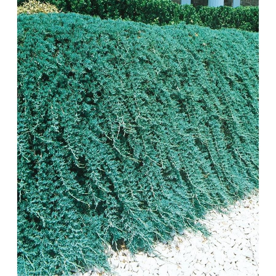 2.58-Gallon Blue Rug Juniper Accent Shrub (L3121)