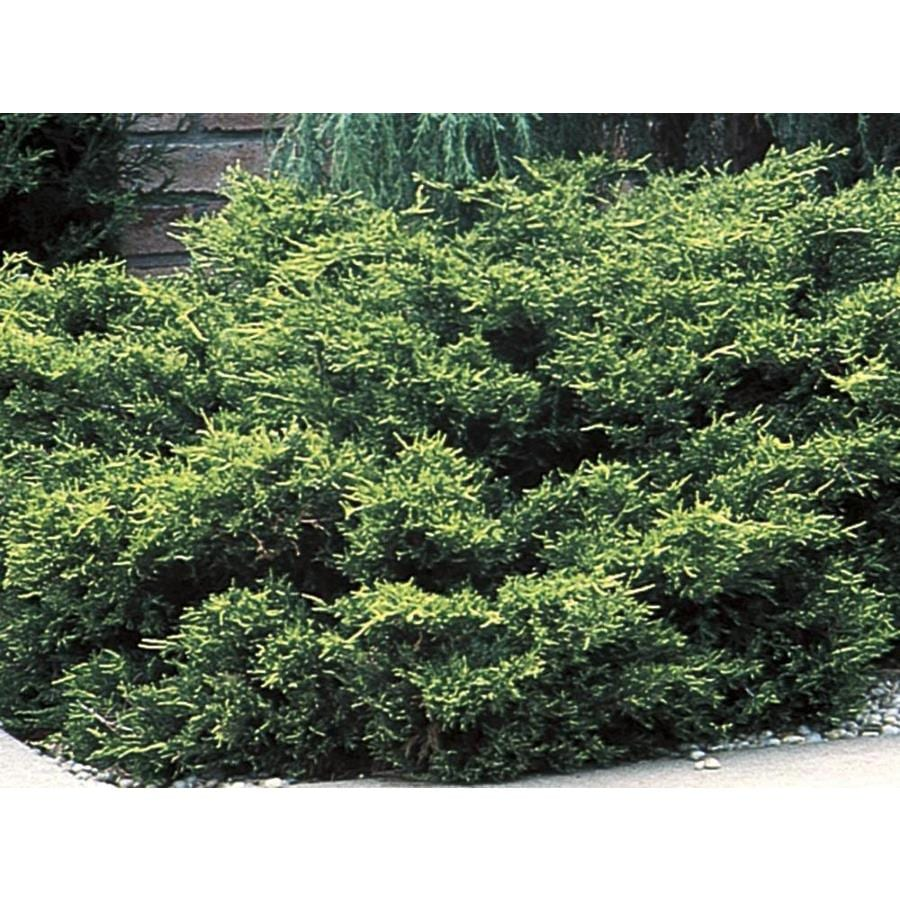 2.58-Gallon Old Gold Juniper Accent Shrub (L10110)