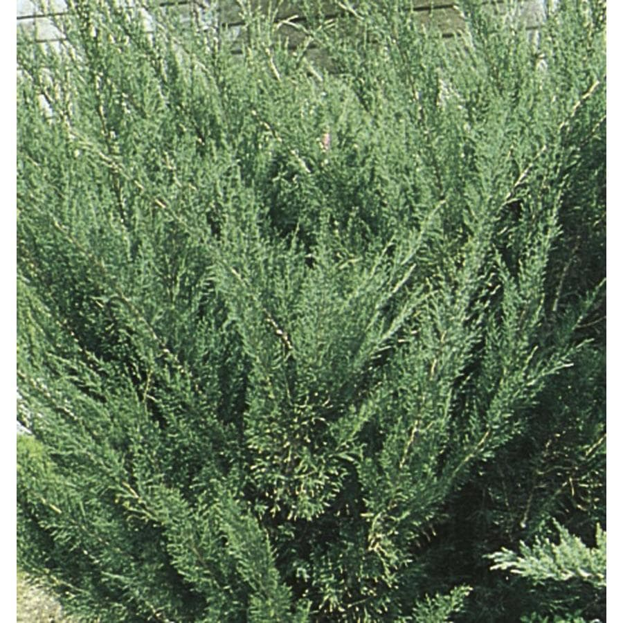2.58-Gallon Sea Green Juniper Accent Shrub (L3045)