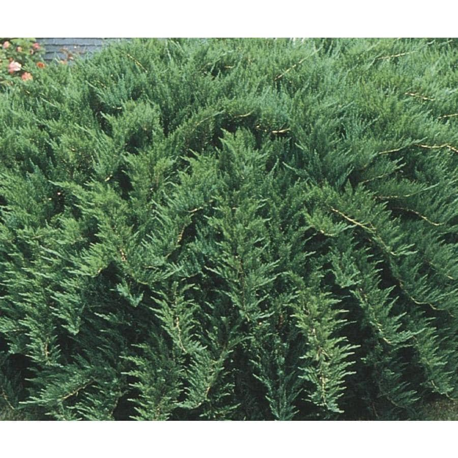 2.58-Gallon Tam Juniper Accent Shrub (L3042)