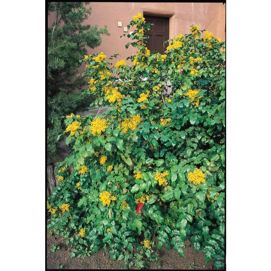 2.58-Gallon Yellow Oregon Grape Holly Accent Shrub (L5649)