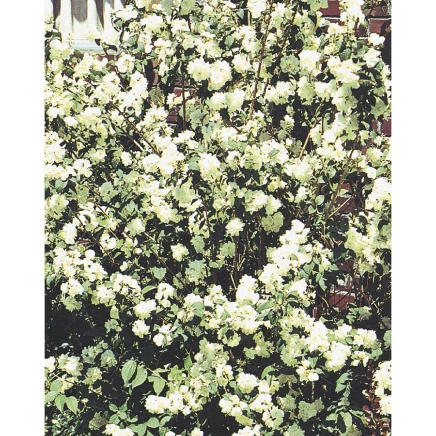 2.58-Gallon White Mockorange Flowering Shrub (L8335)