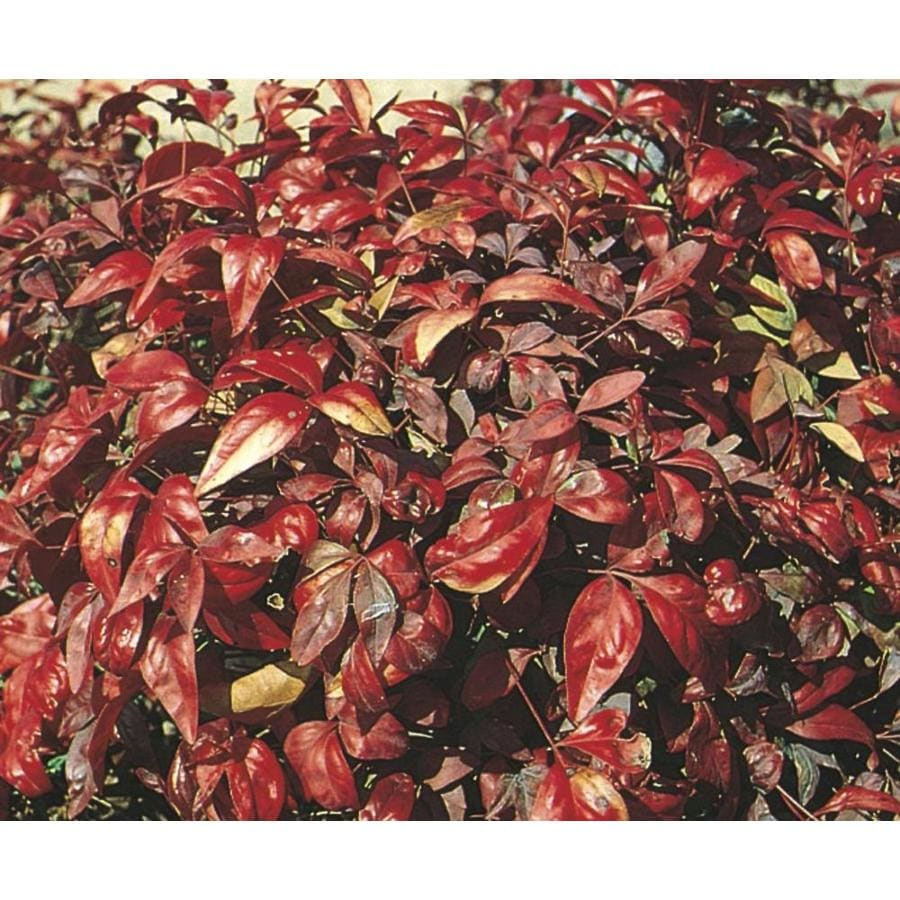 2.58-Gallon Firepower Nandina Accent Shrub (L5328)