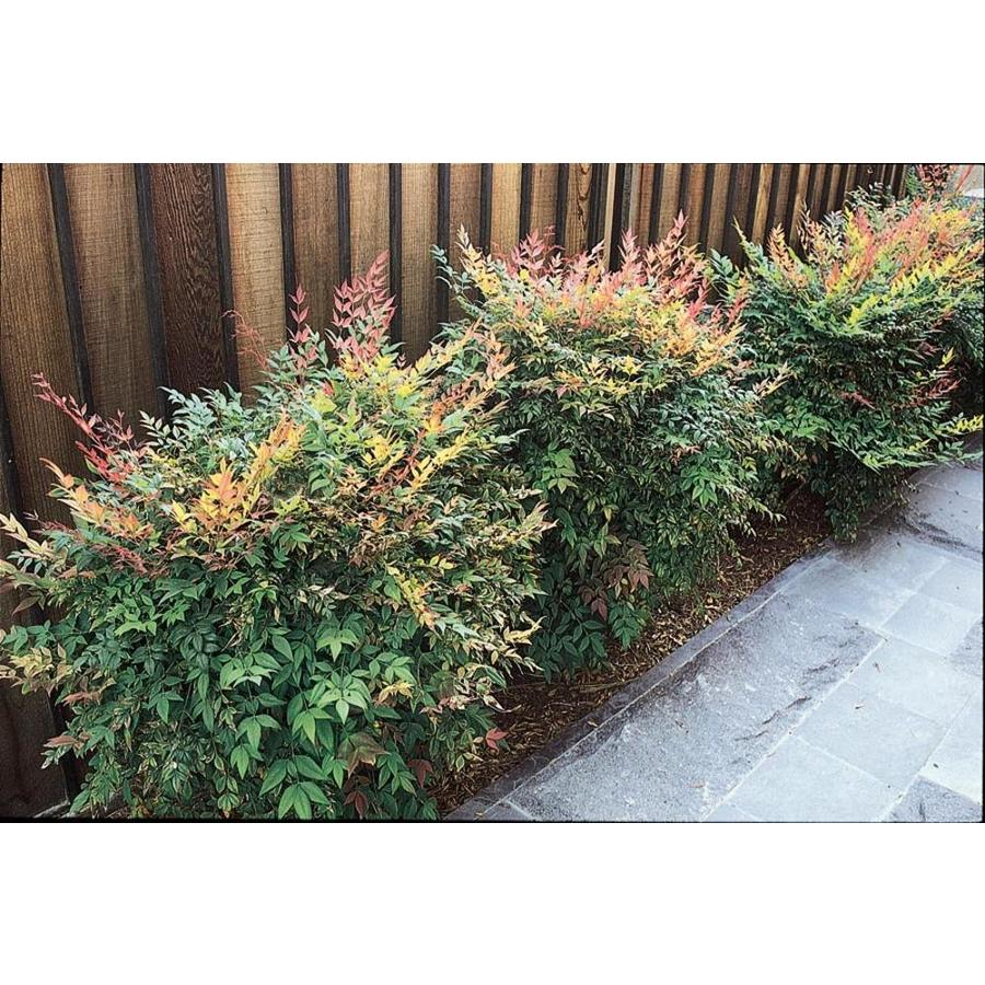 2.58-Gallon White Gulf Stream Nandina Accent Shrub (L9620)