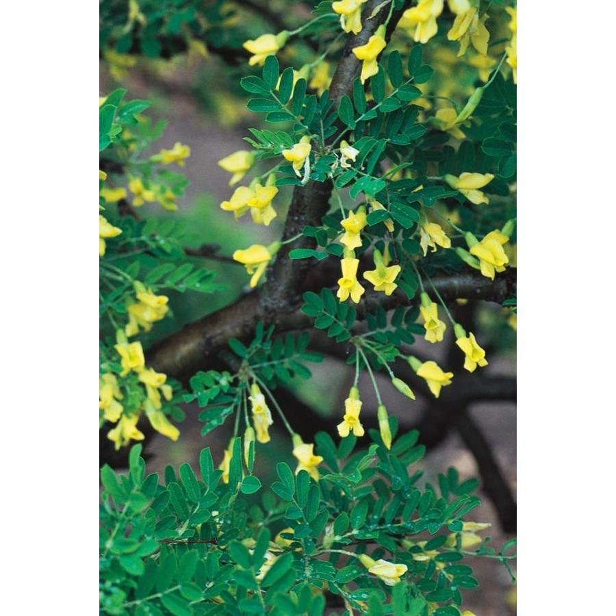 2.58-Gallon Siberian Peashrub Feature Tree (L17063)
