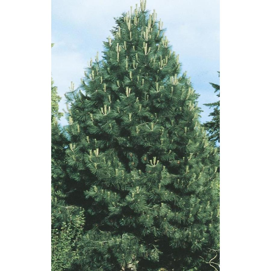 2.58-Gallon Western Yellow Pine (L10767)