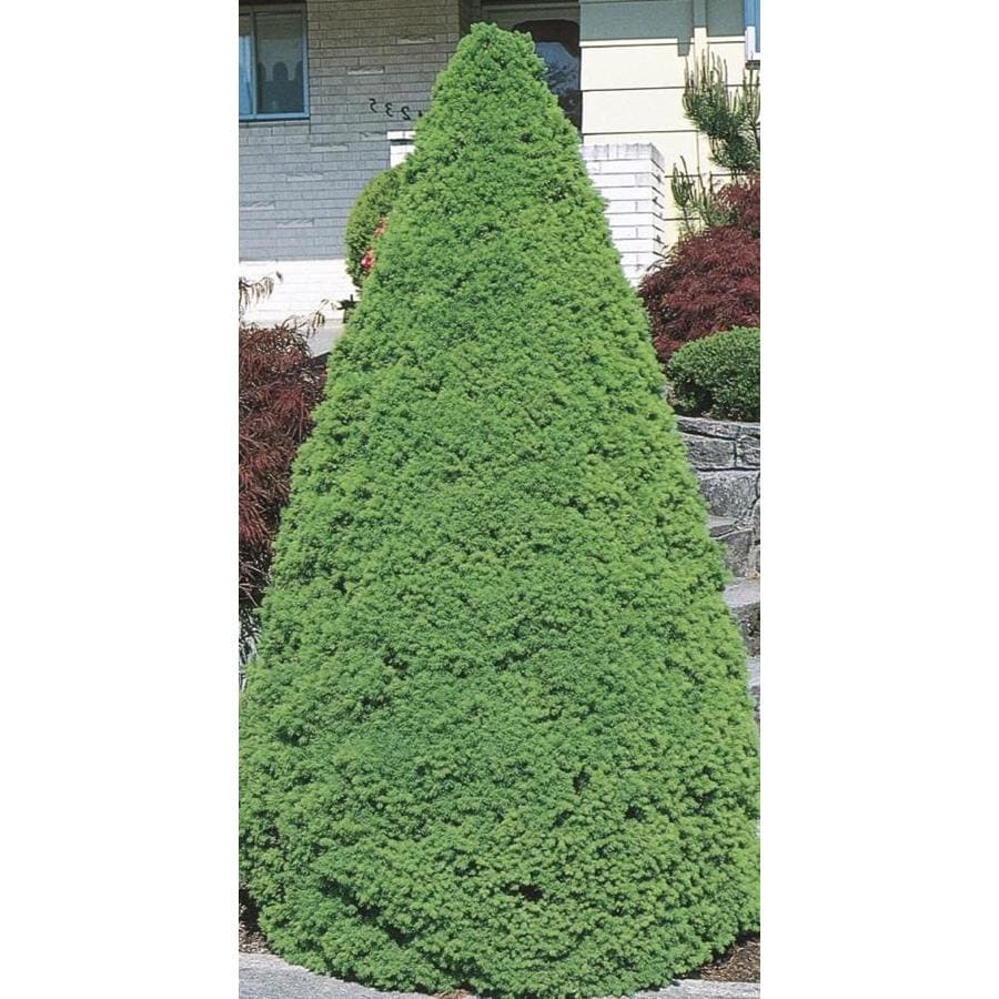 2.58-Gallon Dwarf Alberta Spruce Feature Shrub (L8449)