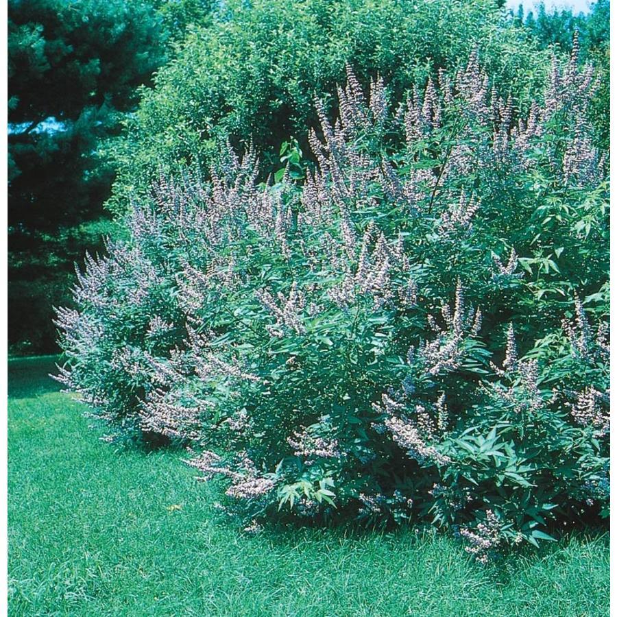 2.58-Gallon Texas Lilac Flowering Tree (L6328)