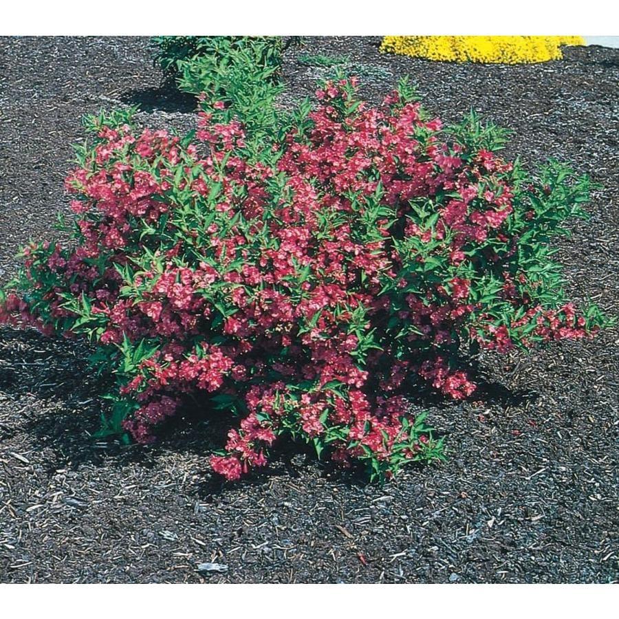 2.58-Gallon Pink Weigela Flowering Shrub (L1019)