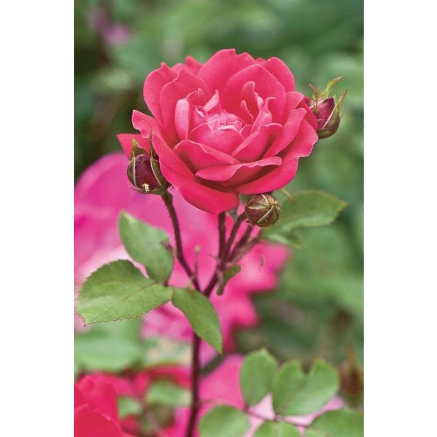 2.58-Gallon Landscape Rose (LW02389)