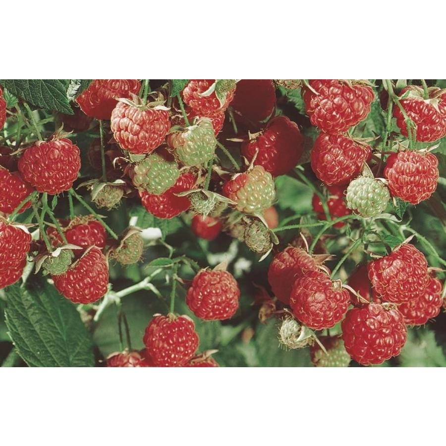2.58-Gallon Raspberry Small Fruit (L5813)