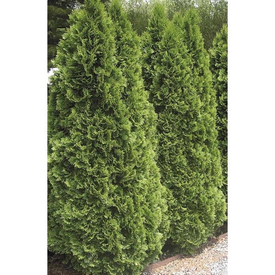 2.87-Quart Emerald Green Arborvitae Screening Shrub (L5480)