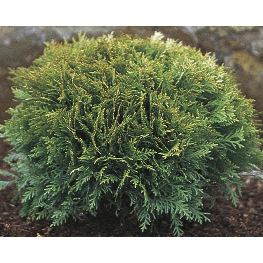 2.87-Quart Tom Thumb Eastern Arborvitae Feature Shrub (LW00267)