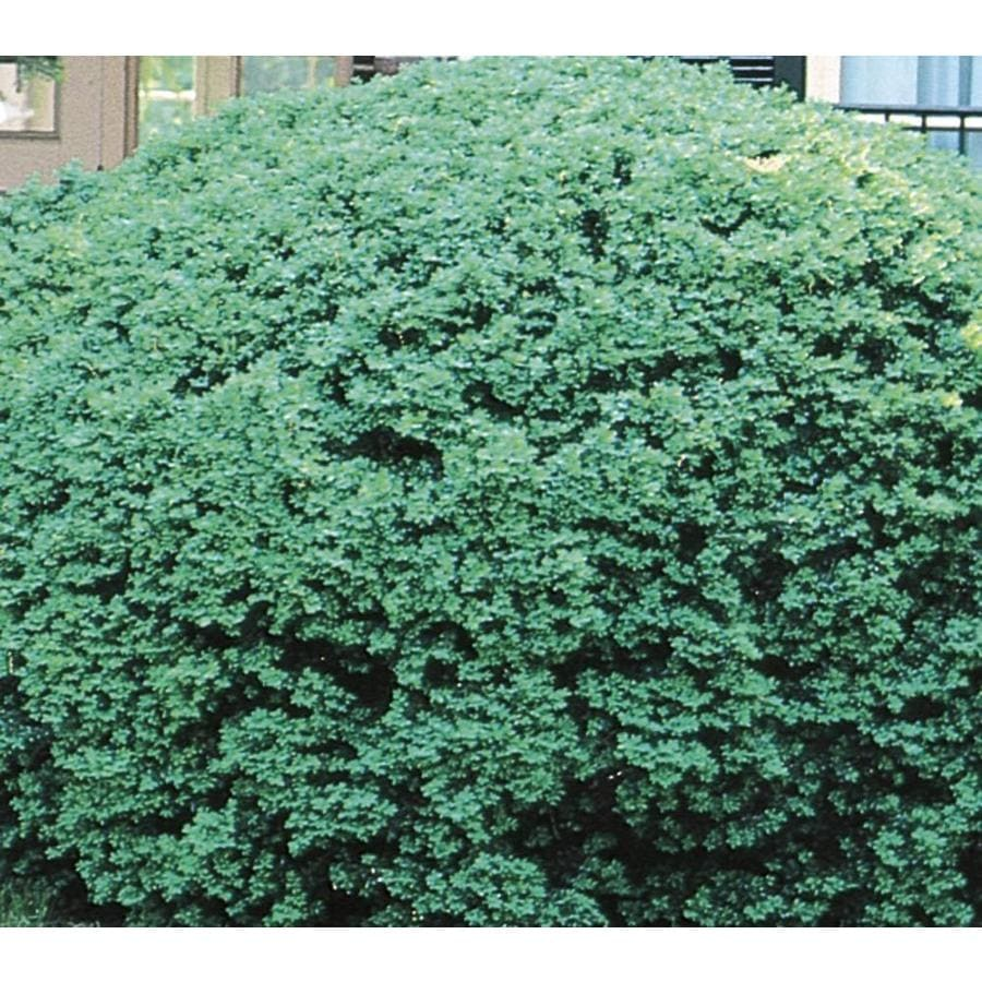 2.87-Quart Dwarf English Boxwood Foundation/Hedge Shrub (L4185)