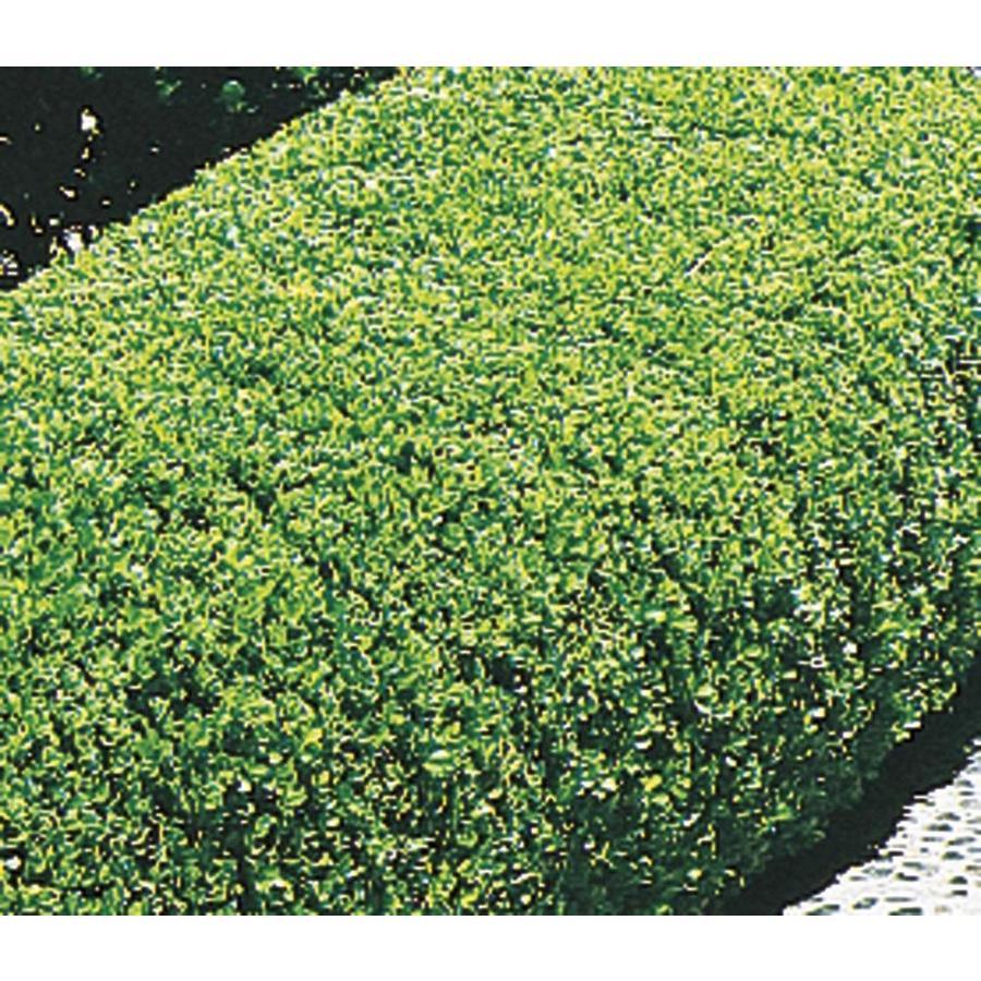 2.87-Quart Winter Gem Boxwood Foundation/Hedge Shrub (L3447)