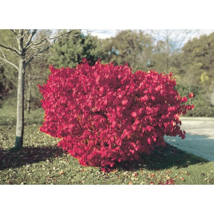 2.87-Quart Burning Bush Foundation/Hedge Shrub (L1008)
