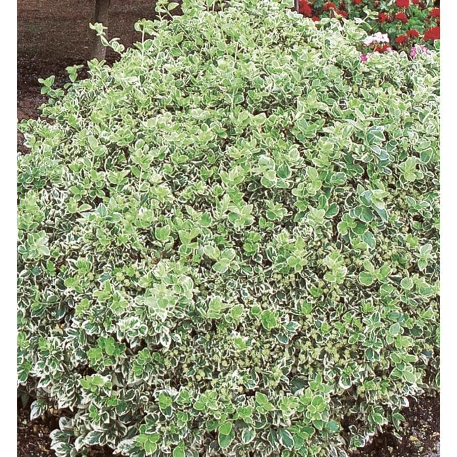 2.87-Quart Emerald Gaiety Euonymus Accent Shrub (L3487)