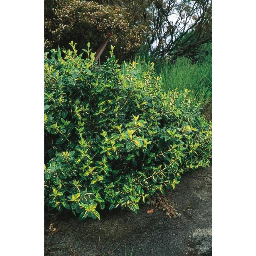 2.87-Quart Moonshadow Euonymus Accent Shrub (L7692)