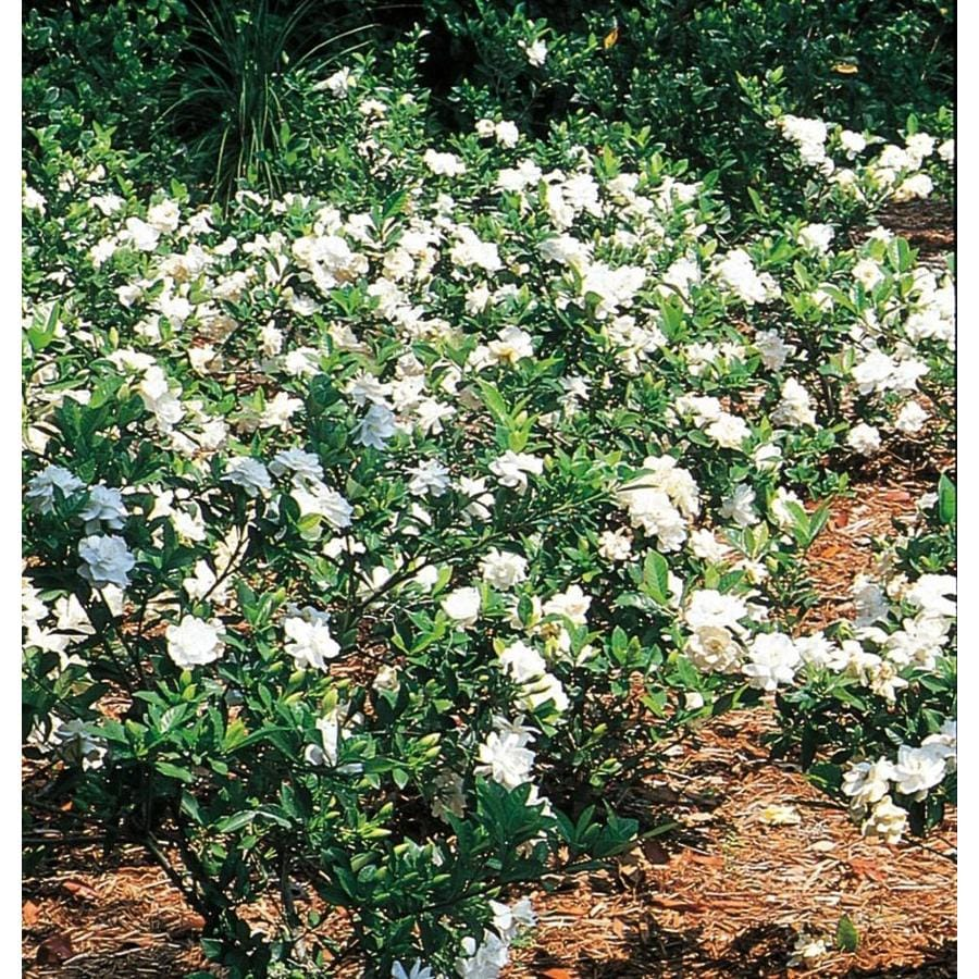 2.87-Quart White Gardenia Flowering Shrub (L5150)