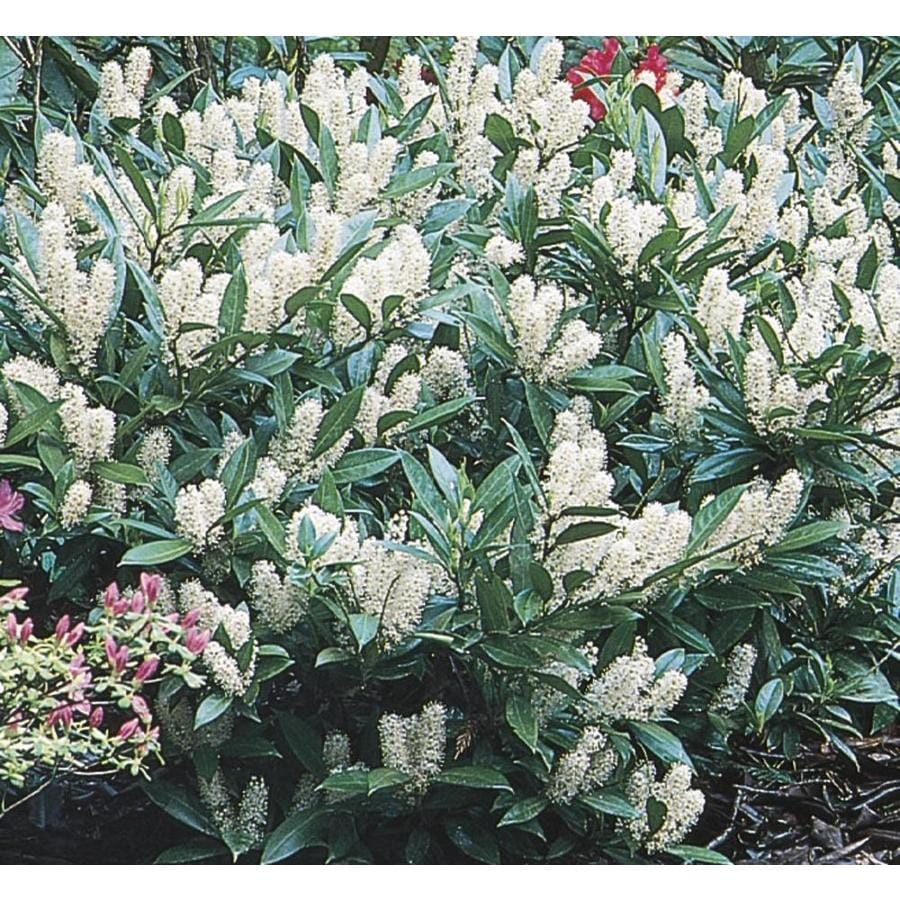 2.87-Quart White Otto Luyken Cherry Laurel Foundation/Hedge Shrub (L14686)