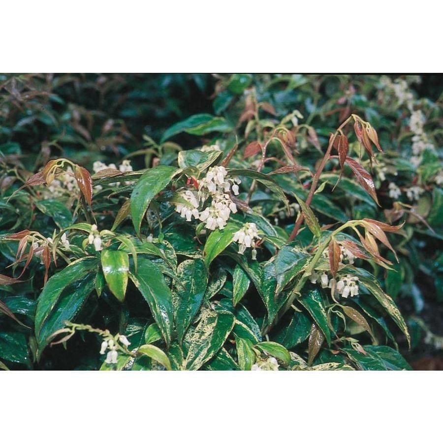 2.87-Quart White Rainbow Leucothoe Accent Shrub (L5187)