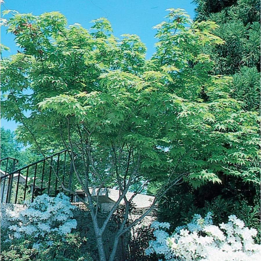 2.87-Quart Japanese Maple Feature Tree (L4163)