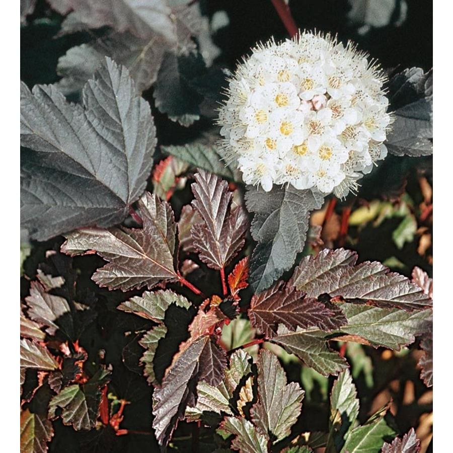 2.87-Quart White Ninebark Accent Shrub (L20513)