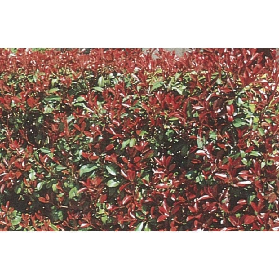 2.87-Quart White Red Tip Photinia Screening Shrub (L3049)