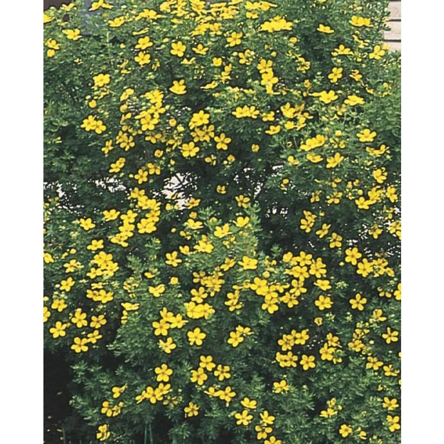 2.87-Quart Yellow Potentilla Flowering Shrub (L3942)