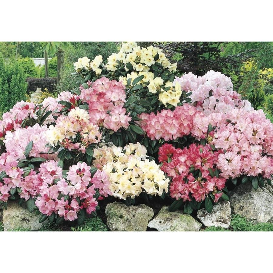 2.87-Quart Mixed Rhododendron Flowering Shrub (L5420)