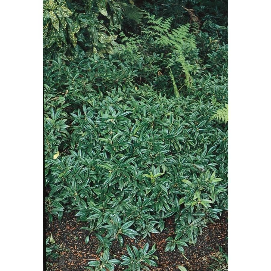 2.87-Quart White Fragrant Sarcococca Flowering Shrub (L10768)