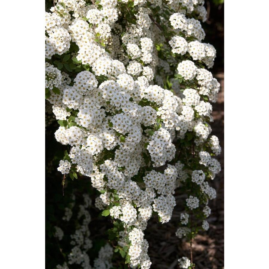 2.87-Quart Pink Spirea Flowering Shrub